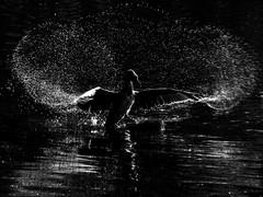Cormorant (mond.raymond1904) Tags: cormorant dodder dublin black white water river