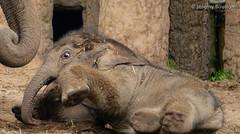 Anjan (JKmedia) Tags: asian elephant calf boy anjan chester boultonphotography zoo chesterzoo animal