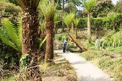 148 glendurgan garden 26-5-2018 (tjdegraaf) Tags: glendurgangarden garden boomvaren ferntree