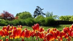 Tulpen / Kasteeltuinen / Arcen (rob4xs) Tags: arcen kasteeltuinenarcen kasteeltuinen castlegroundsarcen castlegrounds schlossgärtenarcen schlossgärten park tuin garden garten limburg thenetherlands holland dieniederlande tulpen tulips limburgslandschap favorite nederland niederlande