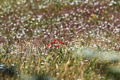 A splash of red. (pstone646) Tags: poppies daisies flowers meadow wildflowers kent flora nature beauty bokeh dof
