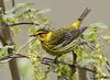 Cape May Warbler (Hank Halsey) Tags: hmk42150cr2 capemaywarbler mageemarsh ohio hankhalseyphotography