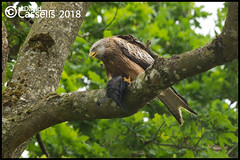Red Kite (David E Cassells) Tags: