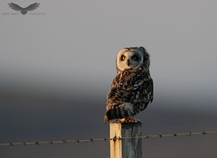 Short-eared owl (Andy Davis Photography) Tags: asioflammeus comhachagancluasach owl perched fence wire evening sunset stare canon
