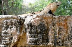 Iguana e teschi di pietra (albertotenconi) Tags: iguana animale yucatan messico
