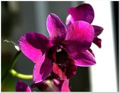 Dendrobium (MaxUndFriedel) Tags: windowsill orchid dendrobium sun backlight flower blossom flowerpot