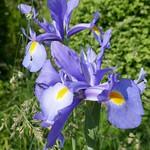 Au jardin, iris de Hollande, Bosdarros, Béarn, Pyrénées Atlantiques, Aquitaine, France. thumbnail
