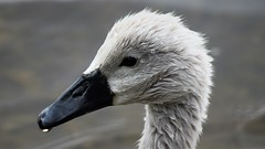 Cygnet Portrait (doranstacey) Tags: nature wildlife birds waterbirds swan swans cygnet portrait closeup youngster young baby chick ulley countrypark tamron 150600mm nikon d5300