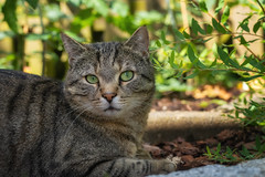 Posing Sethi (FocusPocus Photography) Tags: sethi katze kater cat chat gato tier animal haustier pet garten garden natur nature