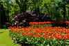 Tulip Garden (Hindrik S) Tags: tulp tulip tulips tulpen tún tuin garden garten jardin read red rood rot rouge green grien groen vert verde bulbs bollen keukenhof lisse 2018 nature natuur natoer natuer creation skepping schöpfung schepping spring printemps foarjier maitiid lente frühling sony1650mmf28dtssm sonyalpha sony sonyphotographing sal1650