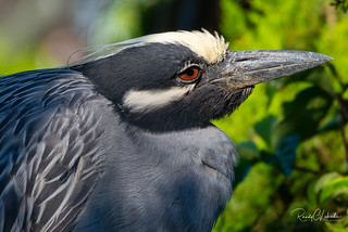 Yellow-crowned Night Heron - Nyctanassa violacea | 2018 - 2