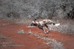 Playful dog (KevinBJensen) Tags: wild african dog wildlife africa safari south kruger