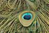 Pauwenoog (K.Verhulst) Tags: peafowl peacock pauw vogels vogel birds bird