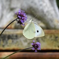 Small White Butterfly (MJ Harbey) Tags: verbena flower purple verbenabonariensis butterfly smallwhitebutterfly pierisrapae lemans france jardindesplantes paysdumans nikon d3300 nikond3300