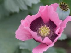 P1000264 (LOLODUTERRIER) Tags: fleur été rouge rose mauve jaunes lys pavot marguerite parfum macro senteur