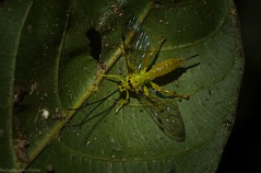 Xanthopimpla sp. (dustaway) Tags: arthropoda insecta hymenoptera ichneumonidae xanthopimpla wasp rprr rotaryparkrainforestreserve lismore nature northernrivers nsw australia