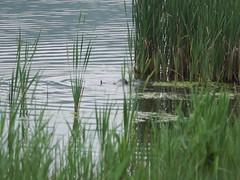 Otter drowning a moorhen (Gidzy) Tags: british nature countryside english outdors northwest northern european beautiful sony a77 animals wildlifephotography wildlife leightonmoss rspb silverdale lancashire naturereserve water meres lakes mammals