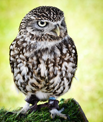 Little Owl (littlestschnauzer) Tags: little owl wise birds prey small display cute honley show west yorkshire uk countryside country animal owls nature