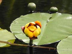 Bullhead Lily --  Nudhar variegatum (JBPTrains2012) Tags: flower pond spring lily yellow micro bullhead massachusetts washington