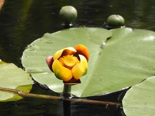 Bullhead Lily --  Nudhar variegatum