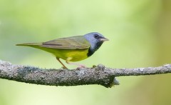 Mourning Warbler. (mandokid1) Tags: canon 1dx 600mm birds warblers