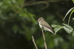 SPOTTED FLYCATCHER (_jypictures) Tags: animalphotography animals animal canon7d canon canonphotography wildlife wildlifephotography wiltshire nature naturephotography photography pictures birdphotography bird birds birdwatching birding birdingphotography birders spottedflycatcher ukwildlife ukbirding ukbirds