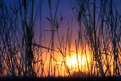 Camargue Morning Immersion (NathalieSt) Tags: camargue europe france gard languedocroussillon leverdesoleil nikon nikond5500 nikonpassion nikonphotography sunrise reeds roseaux burningsky