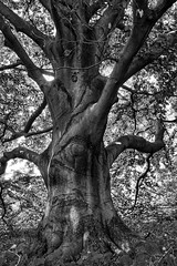 are you, are you, comming to the tree? (A.K. 90) Tags: tree baum baumschule old blackandwhite schwarzweis big sonyalpha6000 natur nature