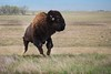 Jumping Bison (fascinationwildlife) Tags: animal mammal wild wildlife nature natur national nwr rocky mountain colorado denver arsenal spring bison buffalo bull büffel usa america refuge nationalpark