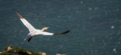 Take off! Northern gannett (Morus bassanus) (claudiacridge) Tags: gannet northerngannet bird sea seabird england coastal coast wildlife nature natural
