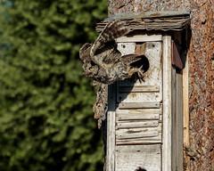 owl-05-25-18-69 (Ken Folwell) Tags: owl nature birds nestbox westernscreechowl idaho outdoors