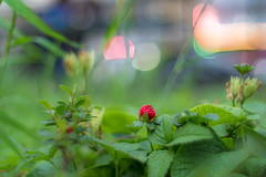 DSCF1061 (::nicolas ferrand simonnot::) Tags: paris 2018 classic prime lens profondeur de champ effet macro bois arbre flou bokeh depth field color night public light rose green yellow orange blue red pink purple vintage manual ciel german voigtländer nokton sc 40 mm f 14 2010s | 10 blades aperture leica m fleur wild strawberry woodland alpine carpathian european fraisier des jardin plante papillon pelouse
