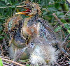think there is three of us (Dianne M.) Tags: tricoloredheron nature outside rookery babys nest alligatorfarm florida ngc