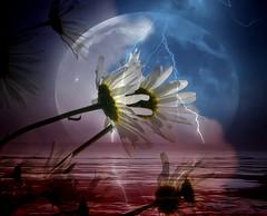 kissing the sky (♥Adriënne - for a better and peaceful world -) Tags: panasonicfz150 deviantart textured ♥adriënne addyvanrooij flowers sidebyside whiteexpressespurity weather rain