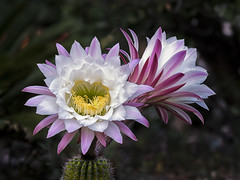 Echinopsis (jvrbotas) Tags: echinopsis focus stacking focusstacking