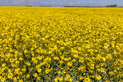 Colza plantation field for fuel production (arnaud_martinez) Tags: blue environment field infinity sky yellow blossom colza culture ecology farm flowers fuel green oil plant plantation renewable seeds spring