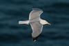 European Herring Gull (argenteus) - adult - July - UK (Keith V Pritchard) Tags: dorset europeanherringgull herringgull july larusargentatusargenteus portlandbill uk adult gull laridae seagull summerplumage