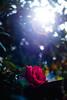 ILCE-7M2-00563-20180527-1801-HDR // Nikon Nikkor-P Auto 105mm 1:2.5 (Otattemita) Tags: 105mmf25 florafauna nikkor nikon nikonnikkorpauto105mmf25 nikonnonai nipponkogaku preai fauna flora flower nature plant wildlife nikonnikkorpauto105mm125 sony sonyilce7m2 ilce7m2 105mm cnaturalbnatural ota