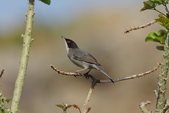 IMGP6722c Sardinian Warbler, Analipsi, Crete, May 2018 (bobchappell55) Tags: sardinianwarbler sylviamelanocephala bird crete wild wildlife nature tree analipsi