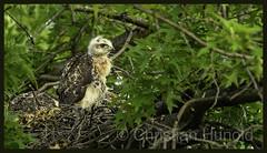 red-tailed hawk (Christian Hunold) Tags: redtailedhawk buteojamaicensis rotschwanzbussard eakinsoval philadelphia christianhunold urbanhawk