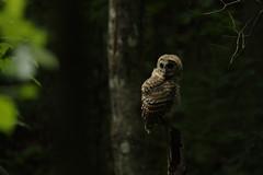 Fledgling Barred owl (Bird-guy) Tags: fledgling barred owl strix varia reynolds nature preserve morrow georgia