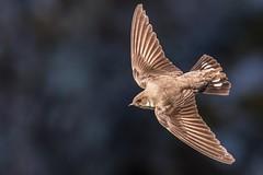 Crag Martin (Phil Gower Bird Photography) Tags: crag martin bird monfrague