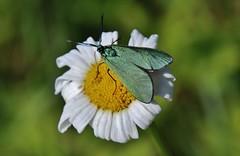 Ampfer-Grünwidderchen (Adscita statices) (Hugo von Schreck) Tags: hugovonschreck ampfergrünwidderchen adscitastatices macro makro insect insekt canoneos5dsr tamron28300mmf3563divcpzda010 moth