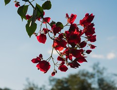 In Bloom (juan.costaa) Tags: flower flores natureza rosas nature life breathing