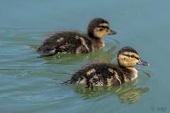 Sibling Pair (MelRoseJ) Tags: elkgrove california unitedstates us a77ii alpha autofocus sony sonyalpha sonyilca77m2 sal70200g duck nature