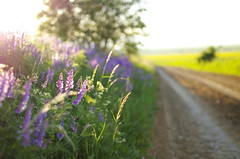 On the edge of the road (Baubec Izzet) Tags: baubecizzet pentax bokeh nature flower light morninglight flickrunitedaward