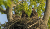 Eaglet Triplets and Momma.... (Kevin Povenz Thanks for all the views and comments) Tags: 2018 may kevinpovenz westmichigan michigan ottawa ottawacounty ottawacountyparks grandravinesnorth nature wildlife outside outdoors tree nest baldeagle eagle eaglets eaglet early earlymorning canon7dmarkii sigma150500 sticks triplets three bird birdsofprey raptor