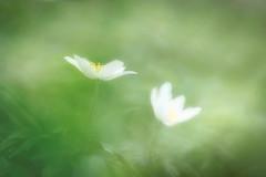 Anemone (DSC01294_1400_3_L2f) (Horst Beutler) Tags: anemonenemorosa buschwindröschen anemone woodanemone spring bokeh flower sonyilce7m2 carlzeissjenaddrpancolar50mmf18mcauto m42mount manualfocuslens smcpentaxfafadapter17x vintagelens copyrighthorstbeutlerphotography