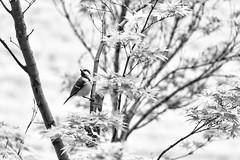 Over a cup of coffee (kceuppens) Tags: coffee koffie garden tuin antwerpen antwerp stad city blackandwhite bw black white zwart wit zw vogel bird boom tree nikond810 nikon d810 nikkor nikkor80400afs
