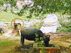 Agra 9 - Mehtab Bagh vincinity (juggadery) Tags: 2015 india uttarpradesh urban landscape animal